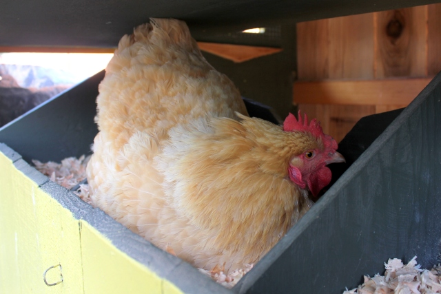 grow and resist mid month meanderings september chickens