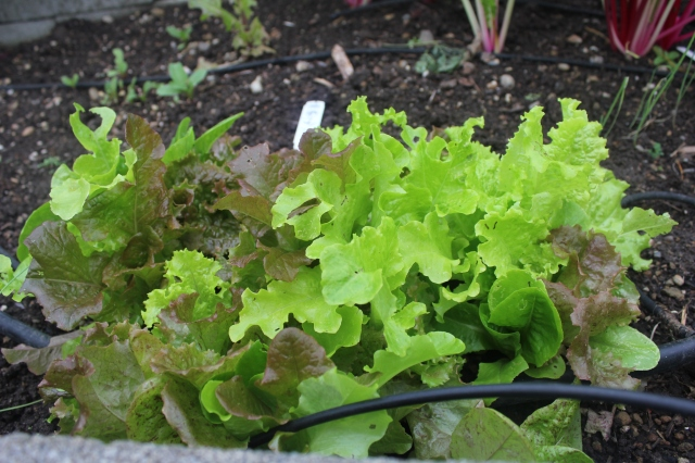grow and resist mid month meanderings lettuce