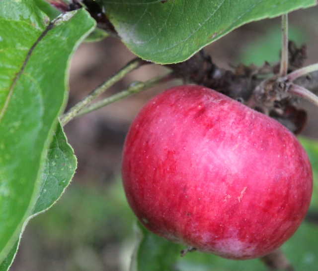 grow and resist october mid month meanderings apple