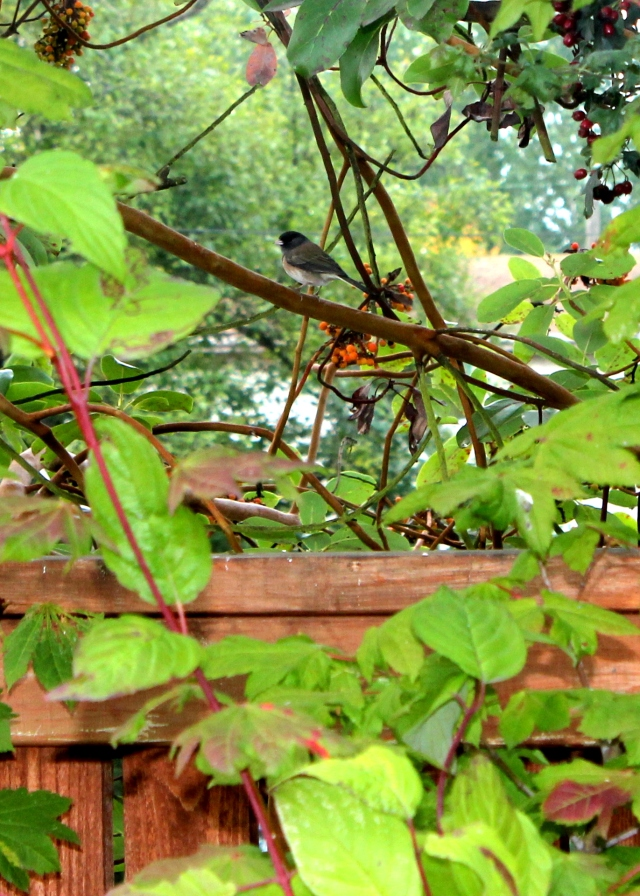 grow and resist october mid month meanderings junco backyard birds