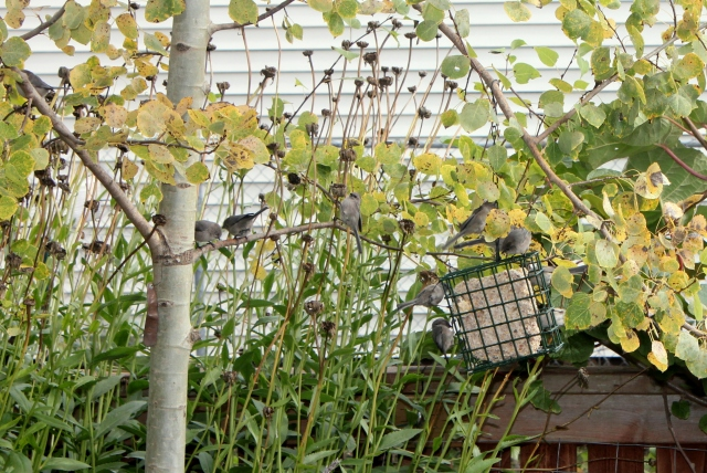 grow and resist october mid month meanderings bushtit backyard birds