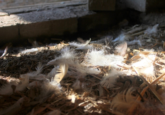 grow and resist mid month meanderings molting chicken