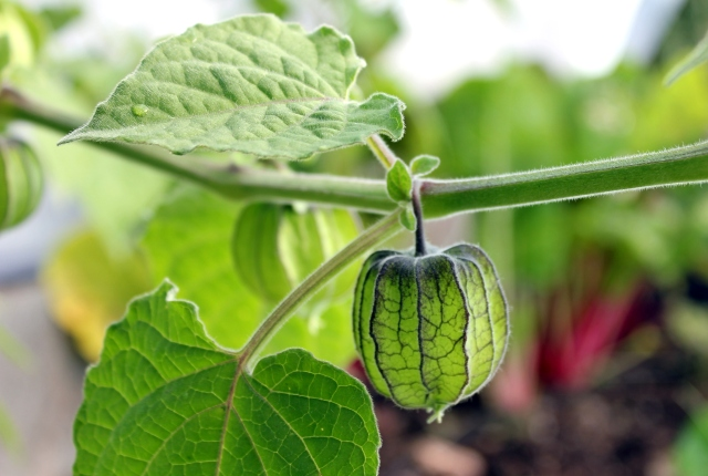 grow and resist october mid month meanderings ground cherry