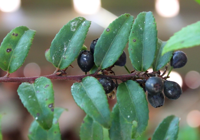 grow and resist mid month meanderings evergreen huckleberry native plant