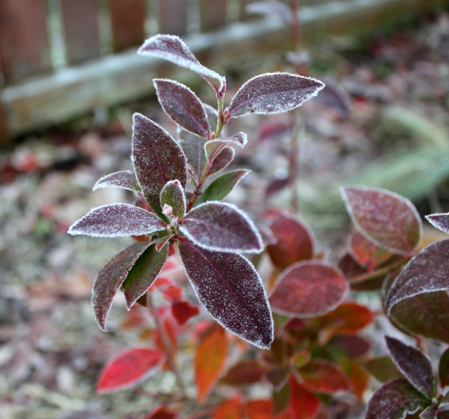 december mid month meanderings grow and resist frosty blueberry