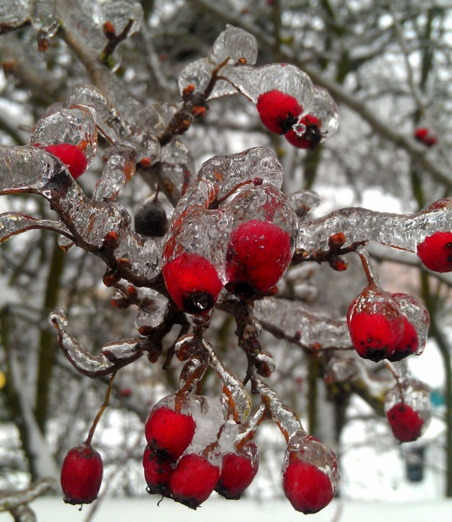 grow and resist snow and ice hawthorne berries