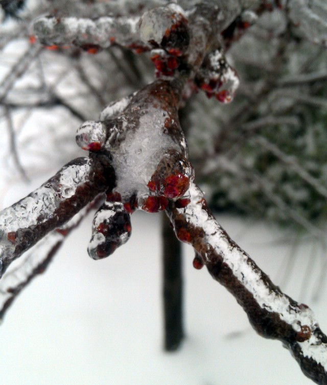 grow and resist snow and ice storm plum tree