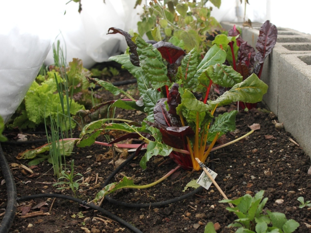 January mid month meanderings grow and resist chard with snow