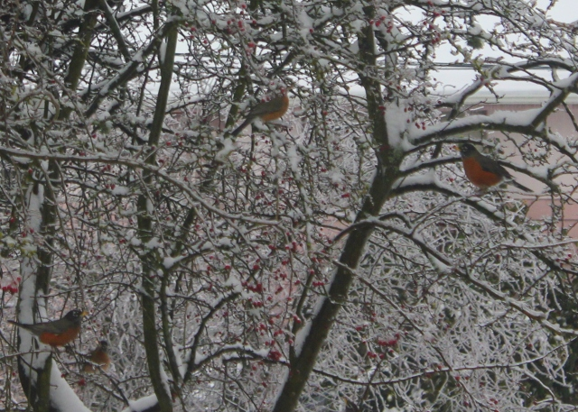 grow and resist snow and ice robins and hawthorn tree