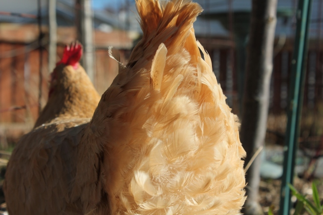 grow and resist chicken butts buff orpington