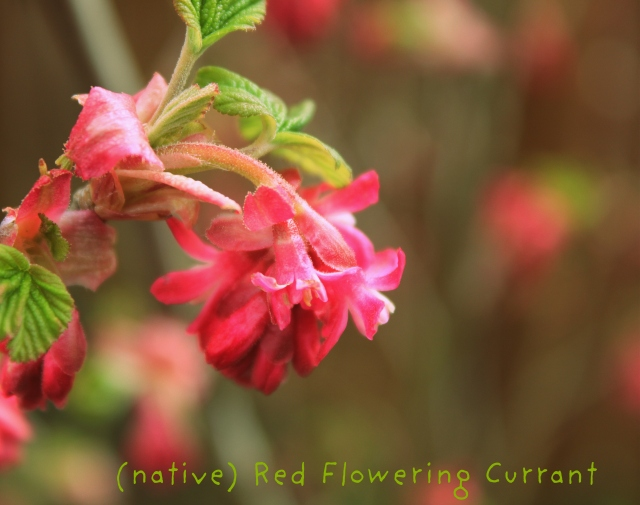 grow and resist mid month meanderings march native red flowering currant