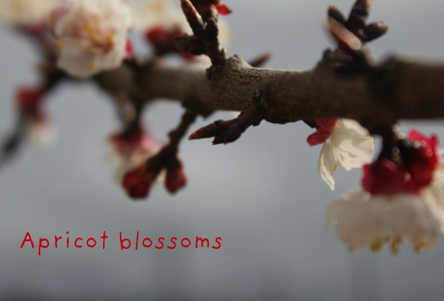 grow and resist mid month meanderings march apricot blossoms
