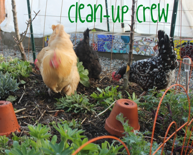 grow and resist mid month meanderings march backyard chickens
