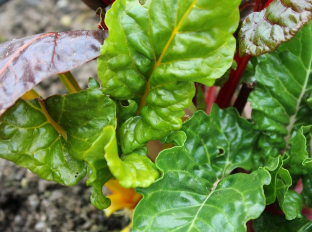 grow and resist mid month meanderings march swiss chard