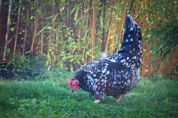 grow and resist mid month meanderings april speckled sussex chicken