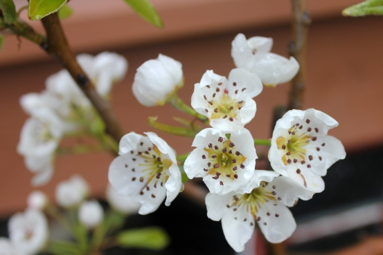 grow and resist mid month meanderings april pear blossom