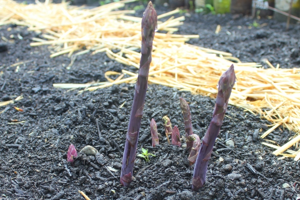 grow and resist mid month meanderings april asparagus patch