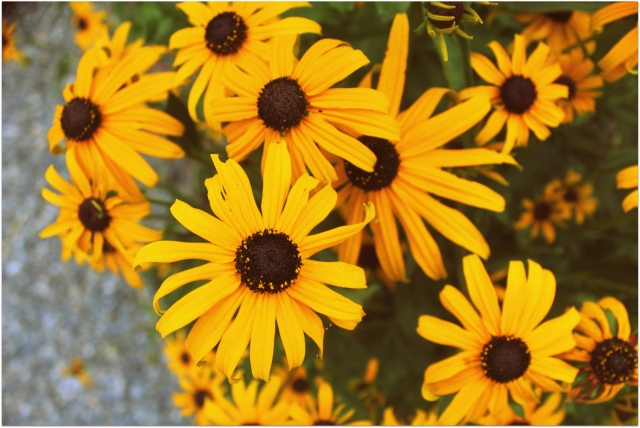 grow and resist august mid month meanderings black-eyed susan