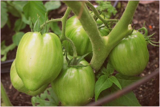 grow and resist august mid month meanderings green tomato