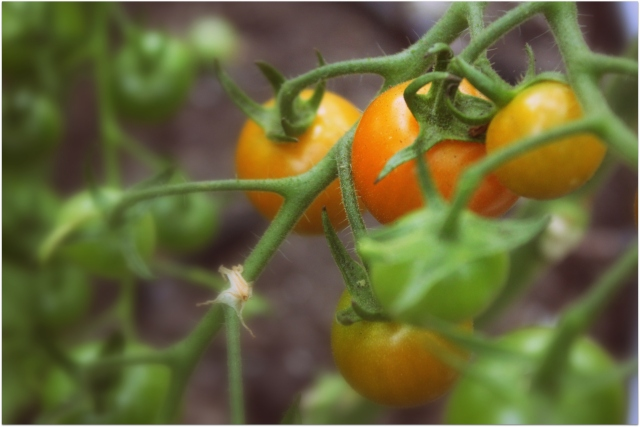 grow and resist august mid month meanderings orange paruche tomato