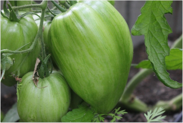 grow and resist august mid month meanderings green tomato (striped roman saucing)