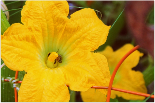 grow and resist august mid month meanderings squash blossom with bee and pollen