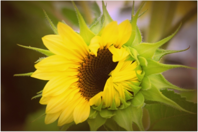 grow and resist august mid month meanderings sunflower