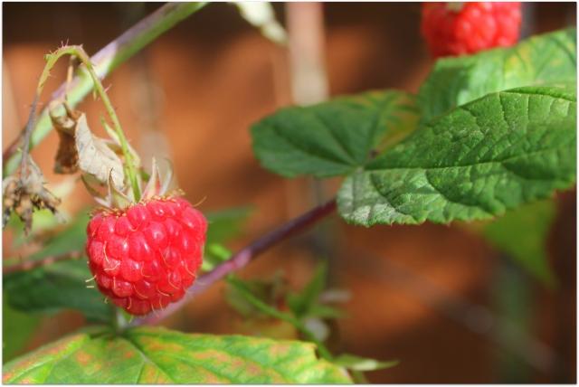 grow and resist october 2012 mid month meanderings fall bearing raspberries