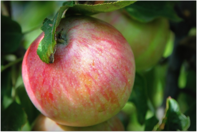 grow and resist october 2012 mid month meanderings apples