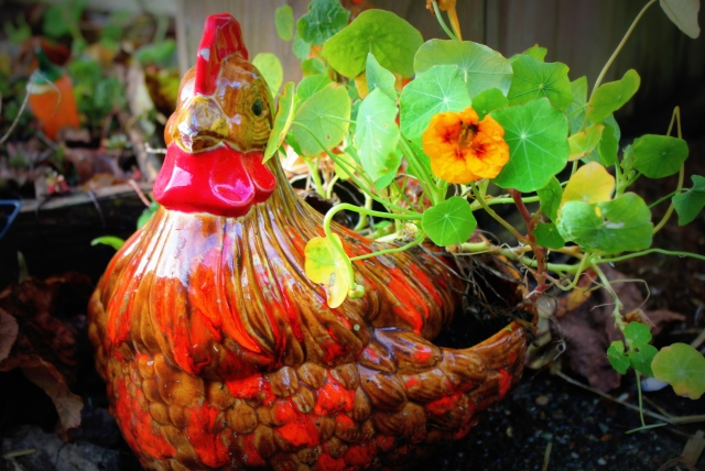 december mid month meanderings grow and resist chicken planter